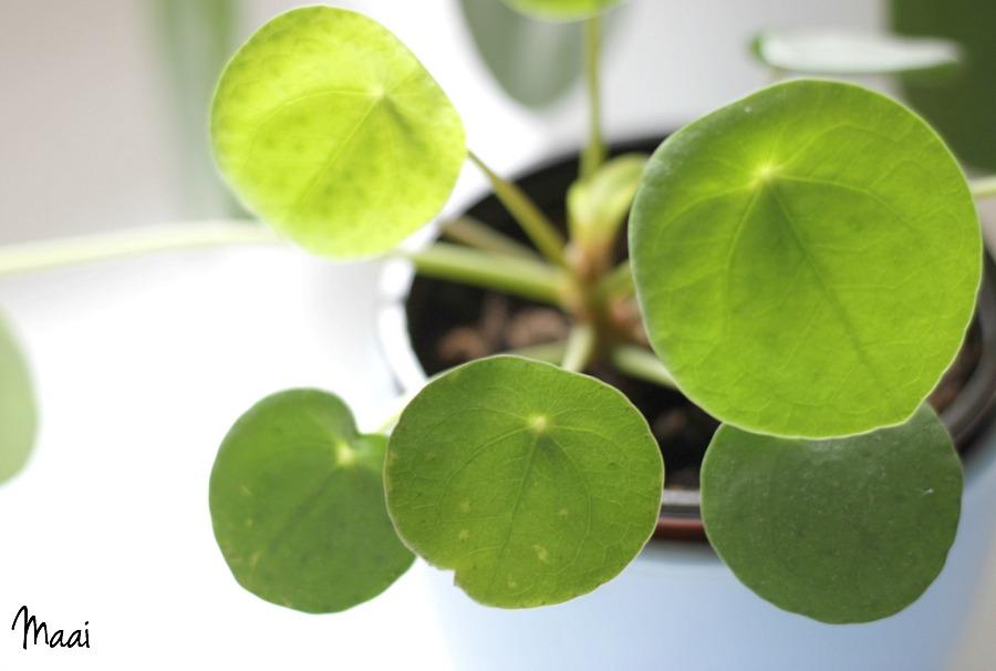 crazy plantlady, plantjes, pilea peperomioidus, pannenkoeken plant, groen in huis