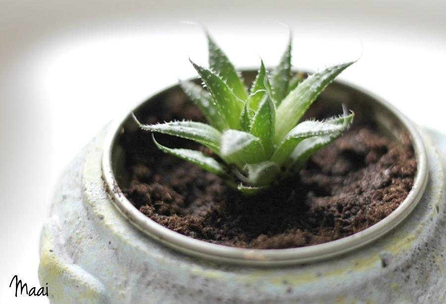 plantjes, crazy plantlady, groen in huis, Aloe op rij