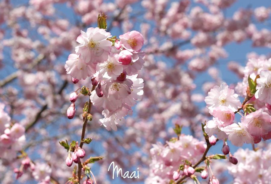 lente, bloesem, picknicken, tuin, voorjaar