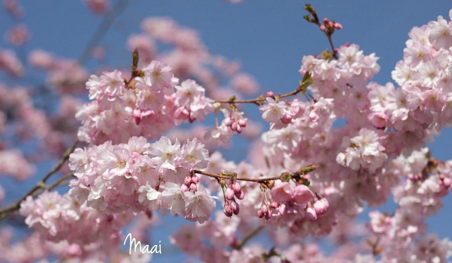 lente, voorjaar, bloesem, tuin